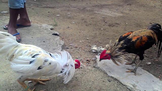 Laman Sabung Ayam S12888 Online Terpopuler