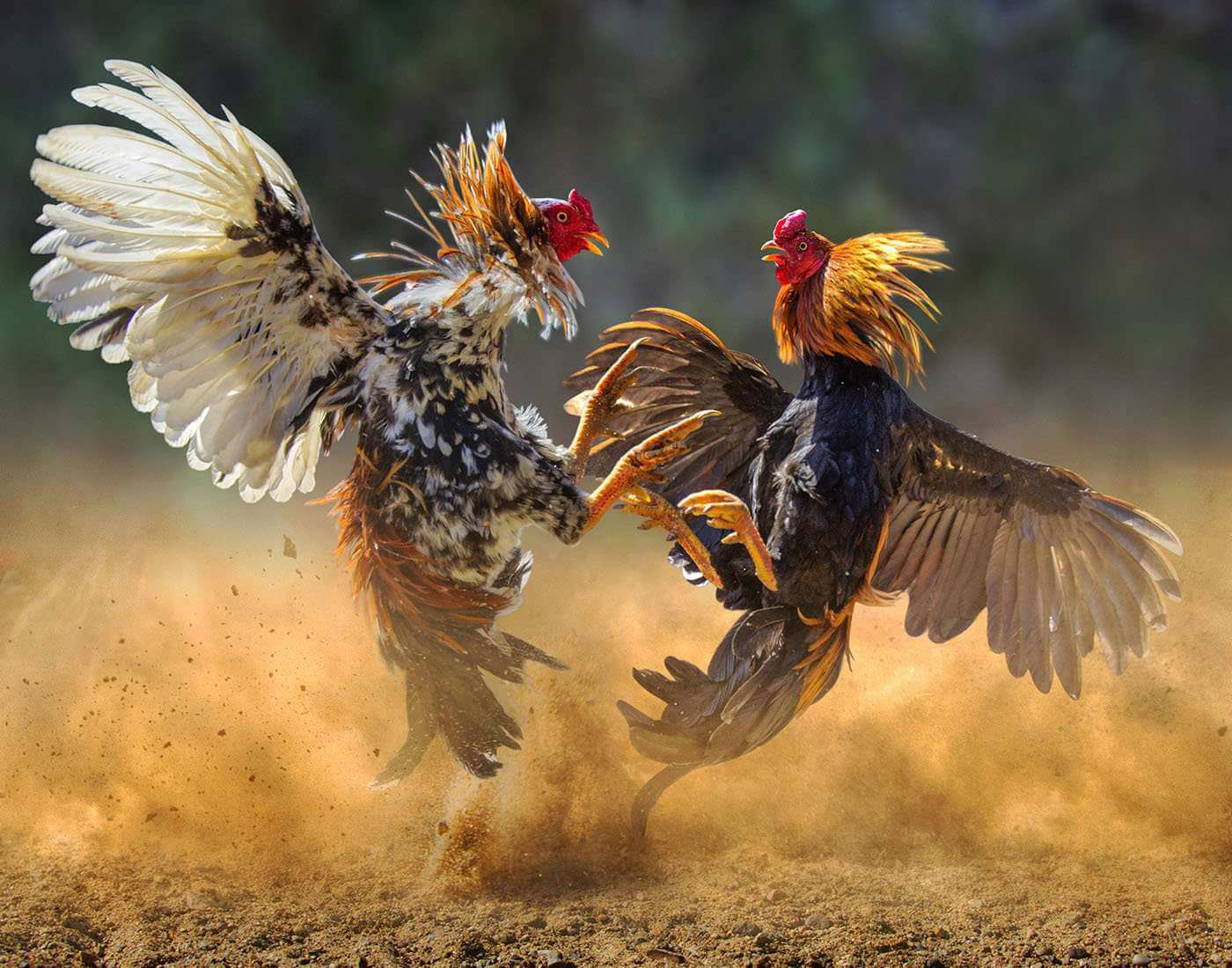 Situs Video Sabung Ayam S128 Live