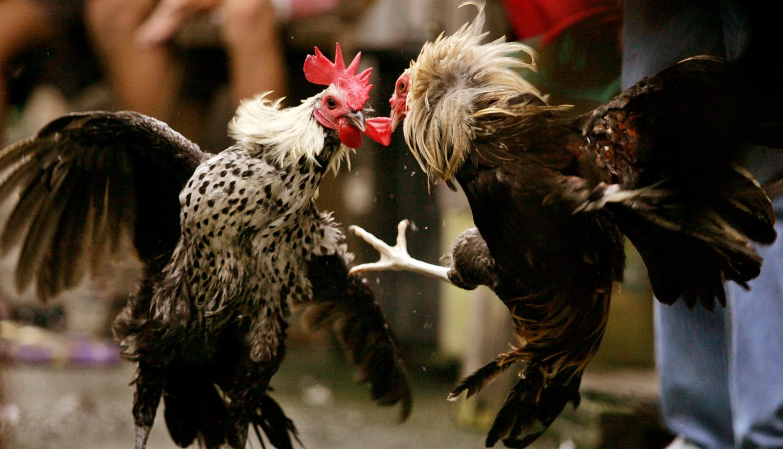 Judi Sabung Ayam Dengan Promo Bonus Besar