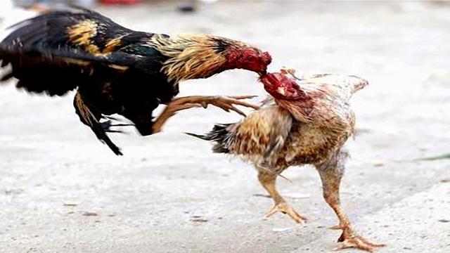 Download Aplikasi Sabung Ayam Android